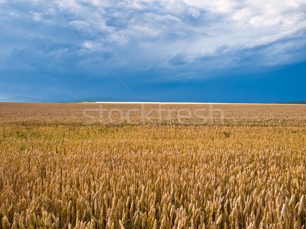 wheat land background Stock photo © klagyivik