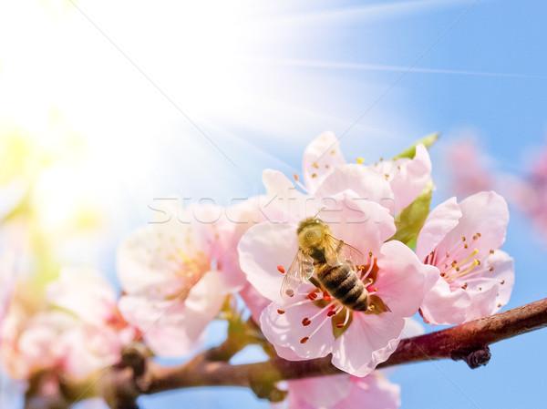 bee on peach blossom Stock photo © klagyivik