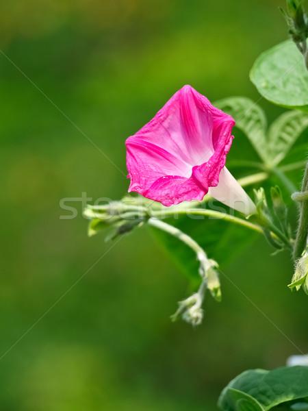 morning glory flower Stock photo © klagyivik