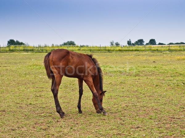 Weinig veulen baby veld groene boerderij Stockfoto © klagyivik
