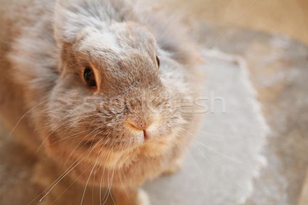Cute bunny grijs vergadering voorjaar mooie Stockfoto © klauts