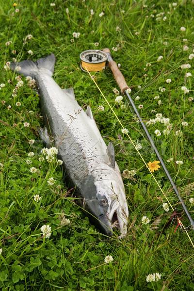 Freshly caught atlantic salmon Stock photo © klikk