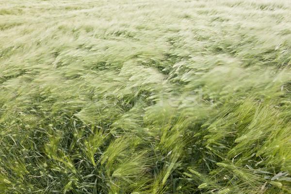 wheat field in the wind Stock photo © klikk