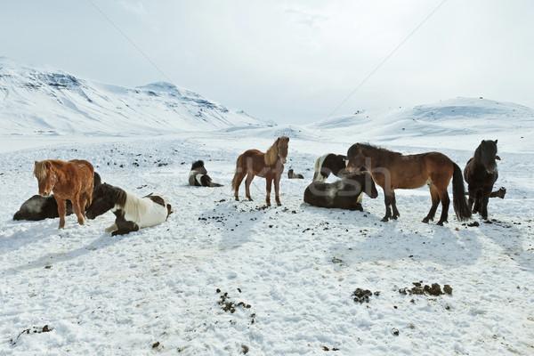 Lovak tél kabát nyáj természet ló Stock fotó © klikk