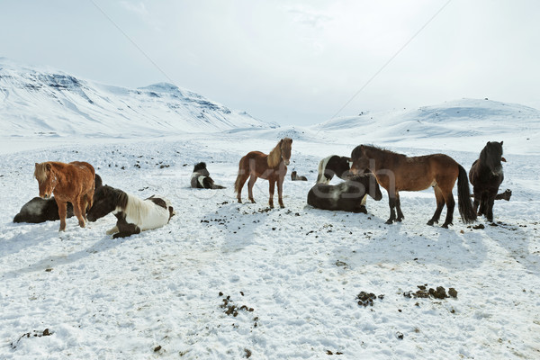 Cavalos inverno casaco rebanho natureza cavalo Foto stock © klikk