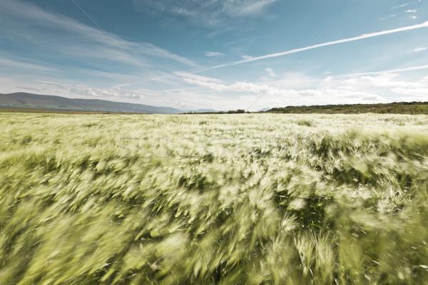 Korenveld wind landschap mooie zomer Stockfoto © klikk
