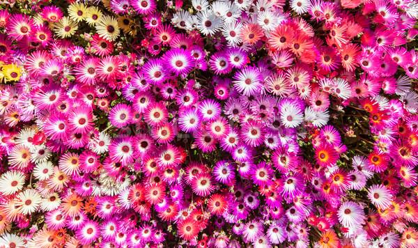 Flower bed of sunlit livingstone daisies Stock photo © klikk