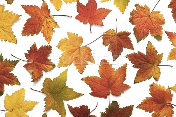 ősz gyönyörű őszi levelek fehér háttér narancs Stock fotó © klikk