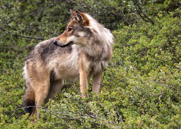 Loup parc Alaska chien Photo stock © Klodien