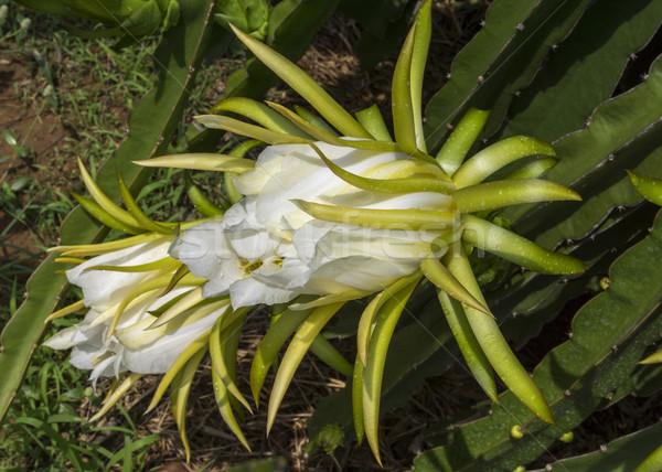 Fleur blanche usine dragon fruits une jour Photo stock © Klodien