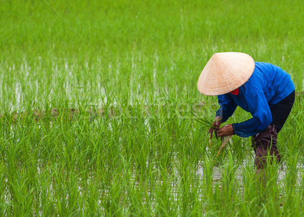 Vietnam: planting rice in empty patches of paddy. Stock photo © Klodien