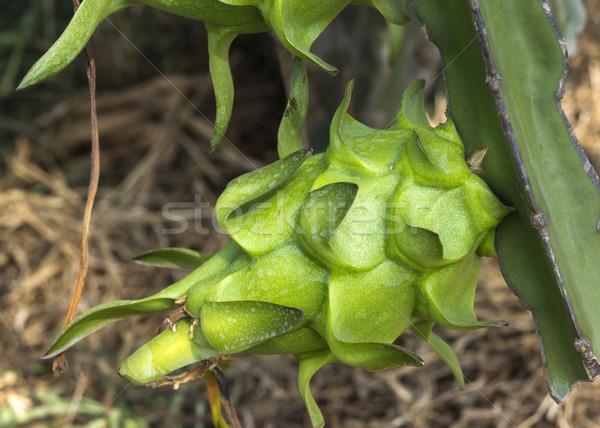 Sárkány gyümölcs fejlődő szőlő fiatal kaktusz Stock fotó © Klodien