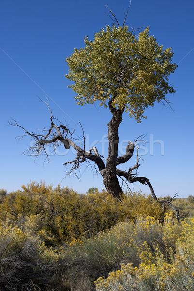 Arbre mort élevé désert ciel bleu jaune Photo stock © Klodien