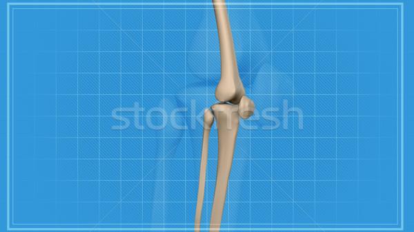 Stockfoto: Menselijke · knie · pijn · anatomie · skelet · been