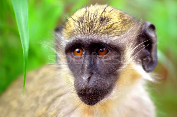 Verde macaco Senegal África árvore viajar Foto stock © klublu