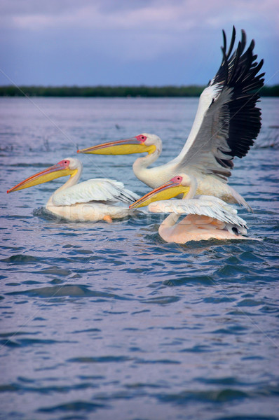 Picture of pelicans captured in Senegal  Stock photo © klublu