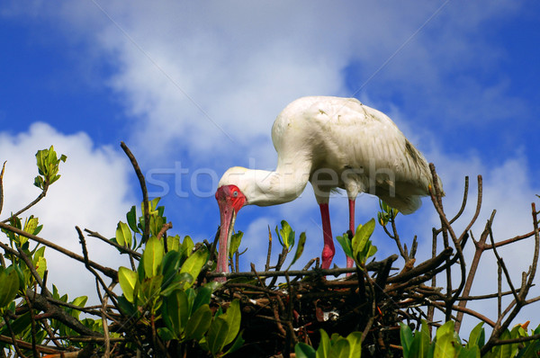 African Spoonbill in Casamance, Senegal, Africa  Stock photo © klublu