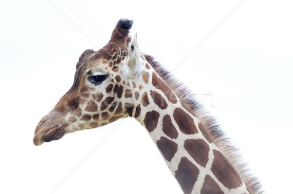 Giraffe head Stock photo © KMWPhotography