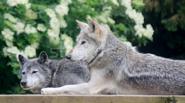 Wolven twee een profiel glimlachend wolf Stockfoto © KMWPhotography