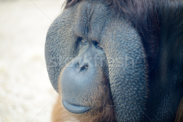 Orangutan closeup Stock photo © KMWPhotography