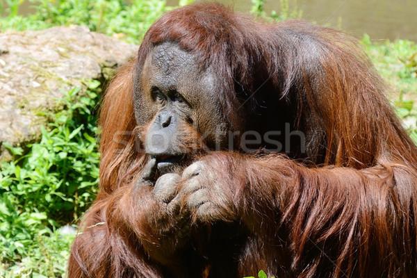 Orangutan tek başına erkek uzun turuncu saç Stok fotoğraf © KMWPhotography