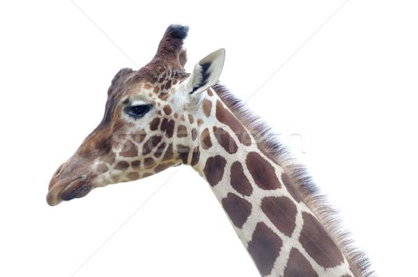Zsiráf közelkép profil fej nyak természet Stock fotó © KMWPhotography