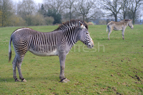 Two zebras Stock photo © KMWPhotography