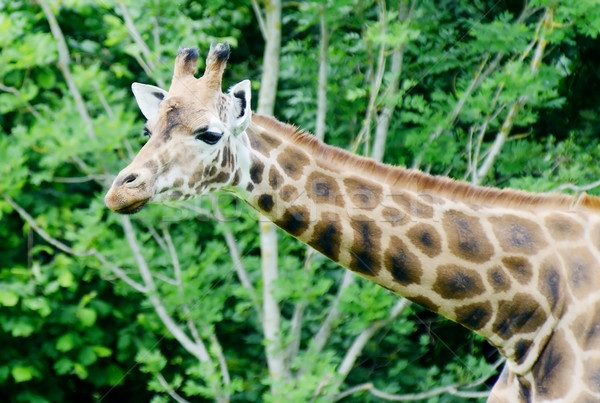 Giraffe looking Stock photo © KMWPhotography