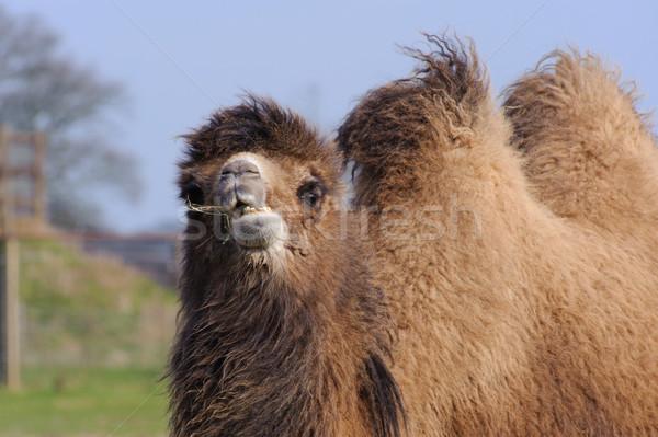 Camelo mastigar grama sol Foto stock © KMWPhotography