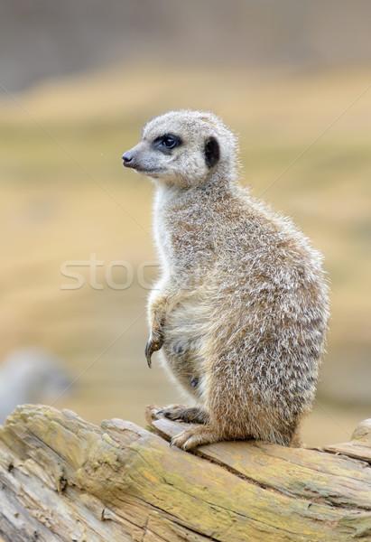 Meerkat Stock photo © KMWPhotography