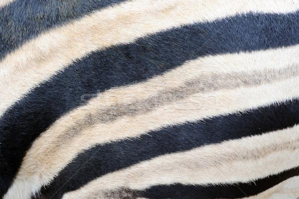 Zebra csíkok közelkép Stock fotó © KMWPhotography