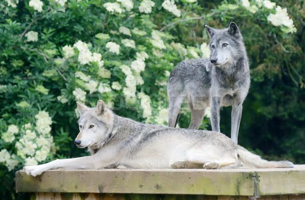 Kettő farkasok pár néz éber veszélyes Stock fotó © KMWPhotography