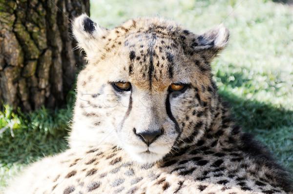 Gepárd arc közelkép portré mutat szőr Stock fotó © KMWPhotography