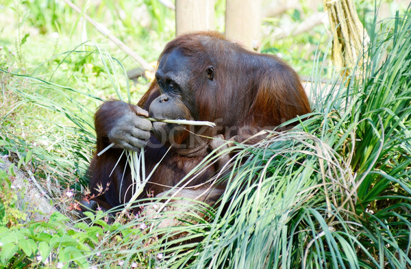 Orangutan mother eating Stock photo © KMWPhotography