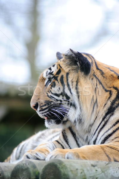 Tigris profil közelkép kilátás macska emlős Stock fotó © KMWPhotography
