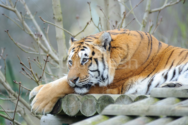 Tigre chat asian mammifère agile Photo stock © KMWPhotography