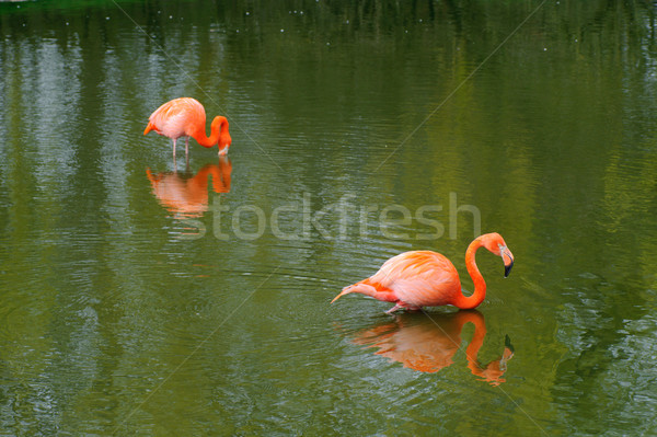 Two flamingos Stock photo © KMWPhotography