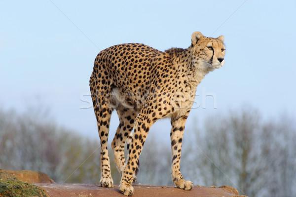 Cheetah ready to pounce Stock photo © KMWPhotography