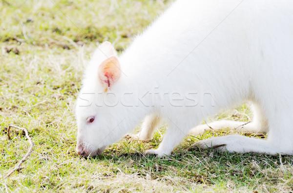 Albino beyaz kürk çim kafa Stok fotoğraf © KMWPhotography
