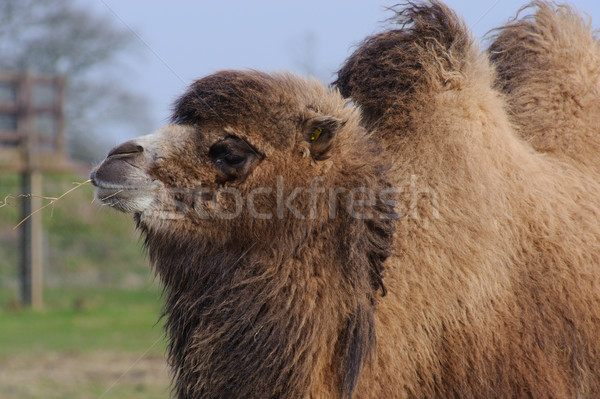 Camel chewing grass Stock photo © KMWPhotography