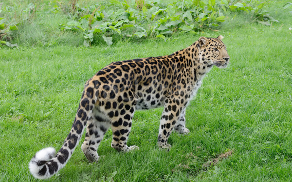 Leopard Looking Stock photo © KMWPhotography