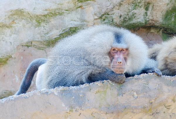 бабуин рок глядя смотрят Сток-фото © KMWPhotography