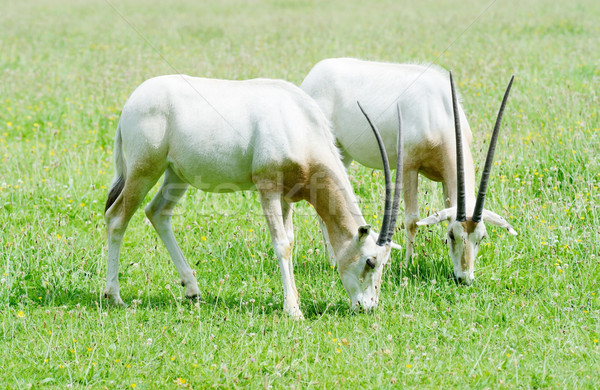 Scimitar horned oryx together Stock photo © KMWPhotography