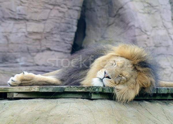 лев спальный ленивый мужчины кошки Сток-фото © KMWPhotography