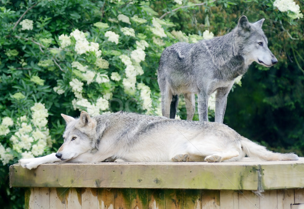 Wolves resting Stock photo © KMWPhotography