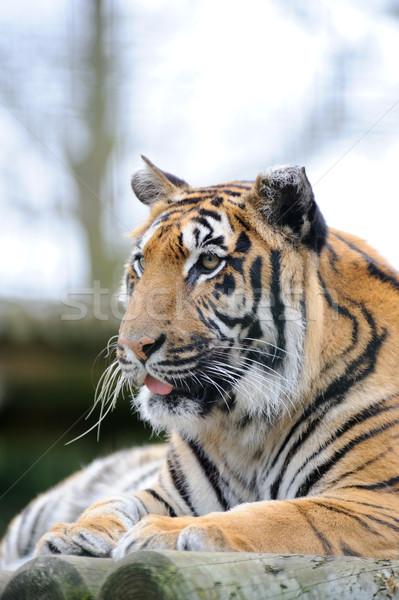 Tijger naar alarm dier groot Stockfoto © KMWPhotography