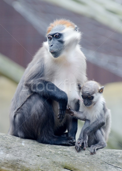 Monkey mother and baby Stock photo © KMWPhotography