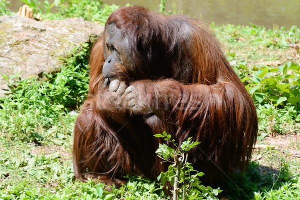 Orangutan erkek oturma ada Stok fotoğraf © KMWPhotography