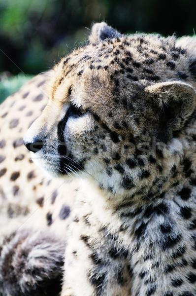 гепард профиль голову Sunshine только Сток-фото © KMWPhotography