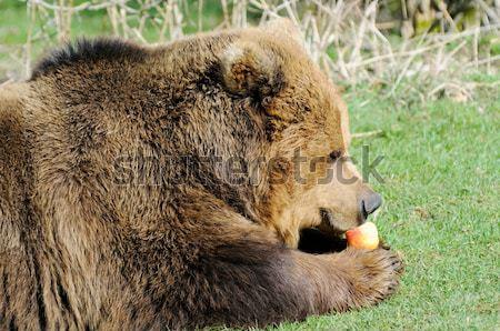 Бурый медведь Sunshine глядя камеры голову Сток-фото © KMWPhotography